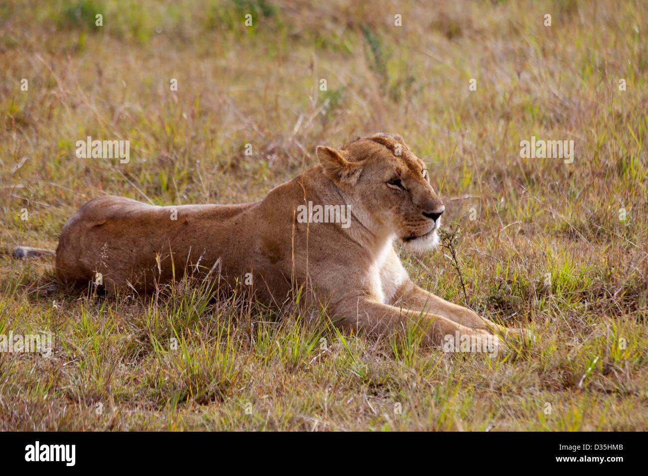 Löwin, Kenia Stockfoto