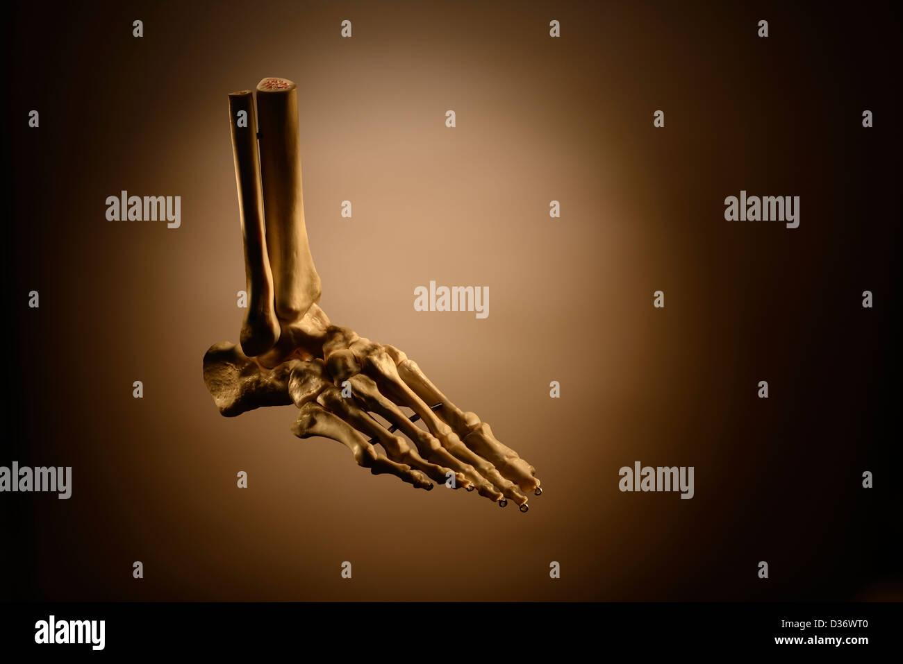 Menschlicher Fuß-Skelett Stockbild