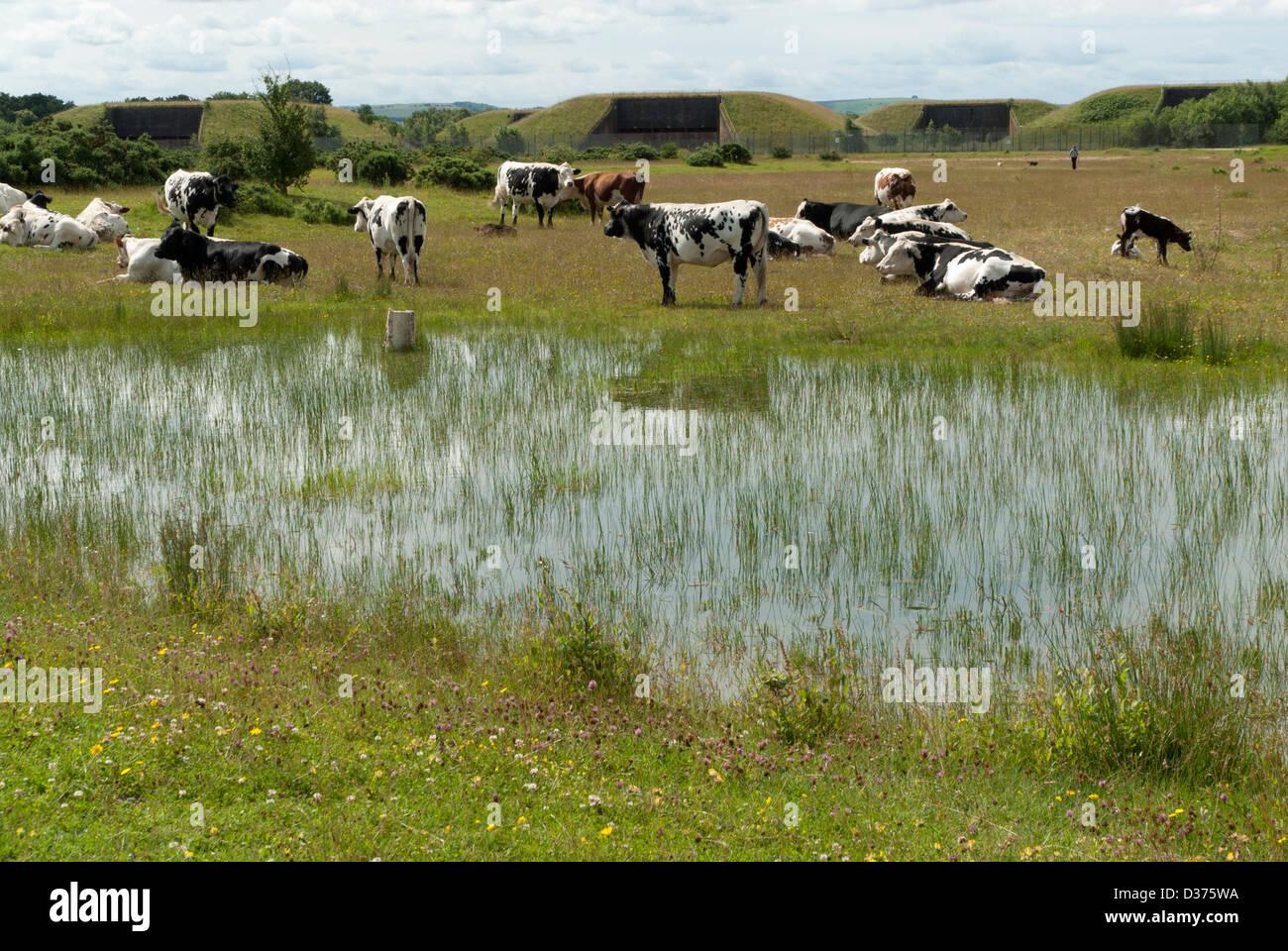 Greenham Common Umweltsanierung: Vieh neben einem Teich mit alten Marschflugkörper Silos hinter West Berkshire, Stockbild