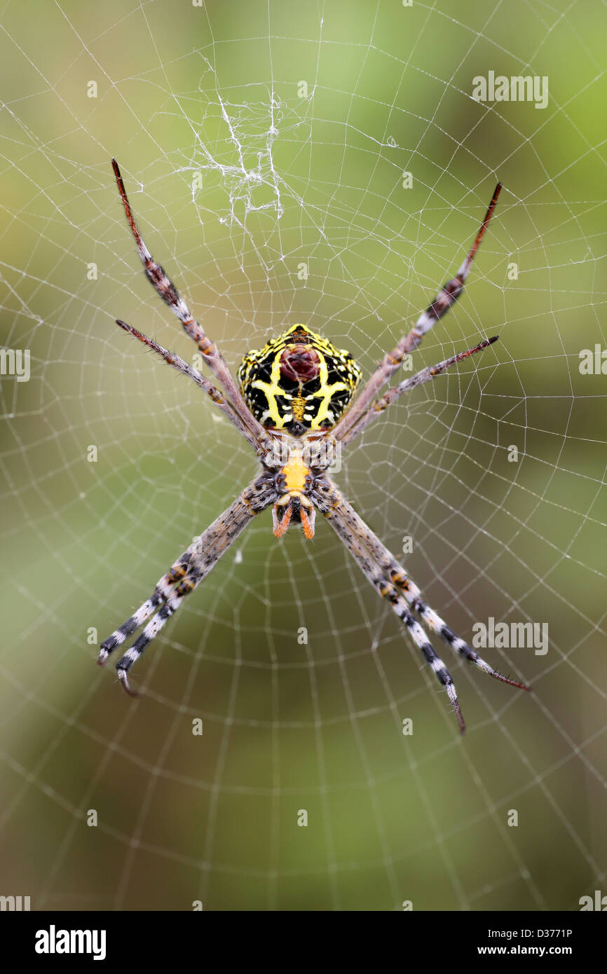 Signatur-Spider Argiope sp. Stockbild
