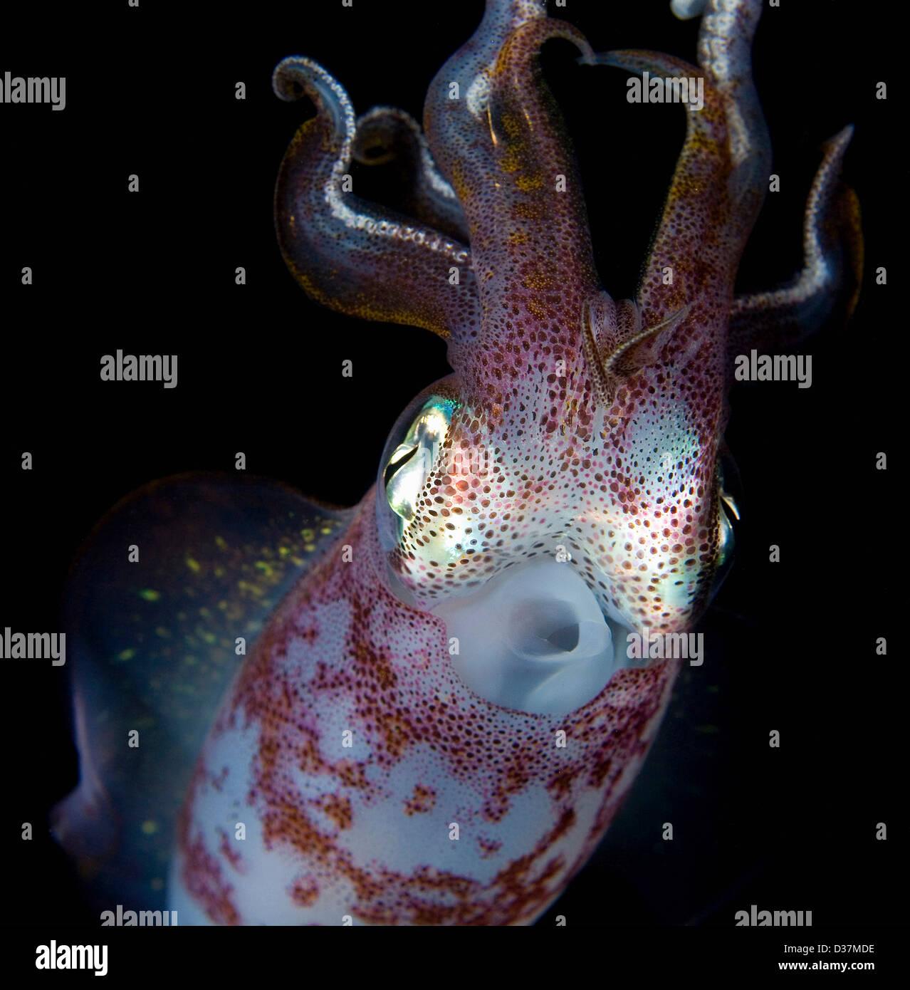 Nahaufnahme von Squid unter Wasser in der Nacht Stockbild