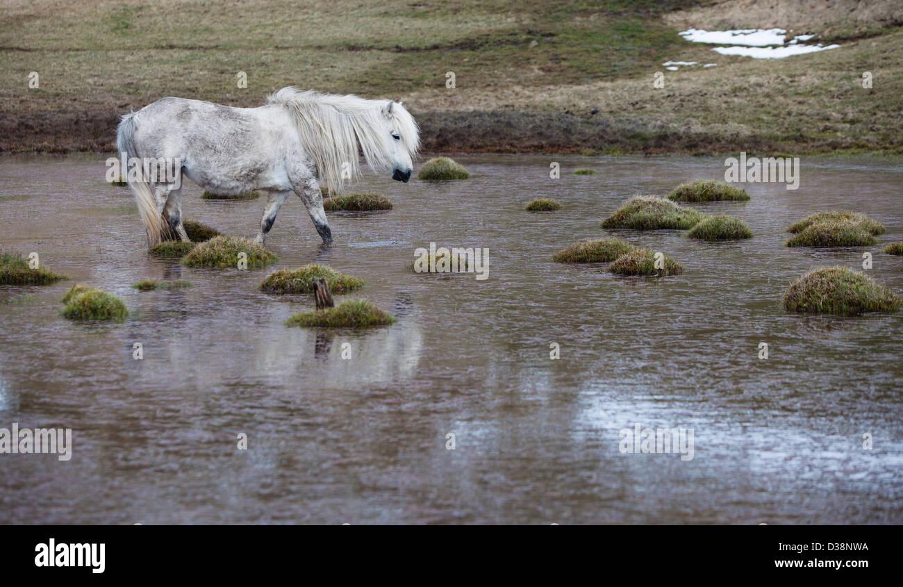 Pferd, zu Fuß auf sumpfigen Gebiet Stockbild