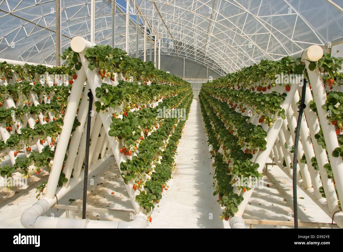 Reihen Von Reife Rote Erdbeeren Und Laub Der Pflanzen Im