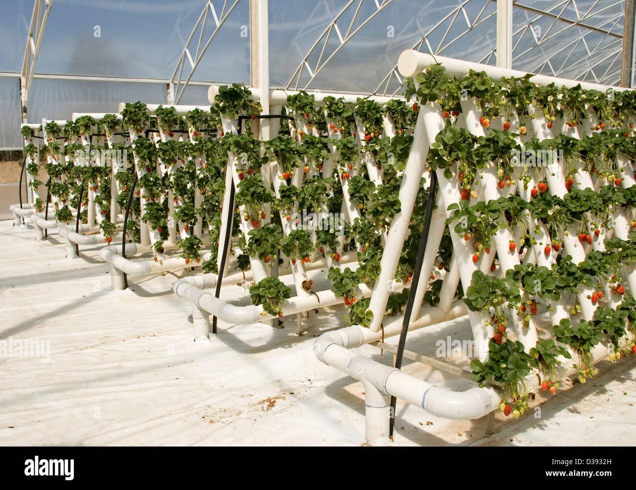 wann erdbeeren pflanzen wann erdbeeren pflanzen with wann erdbeeren pflanzen erdbeeren. Black Bedroom Furniture Sets. Home Design Ideas