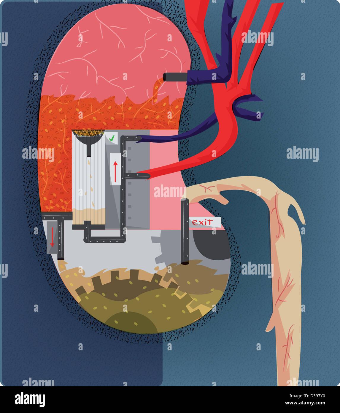 Wasseraufbereitungsanlage, die Darstellung der Funktion der Niere ...