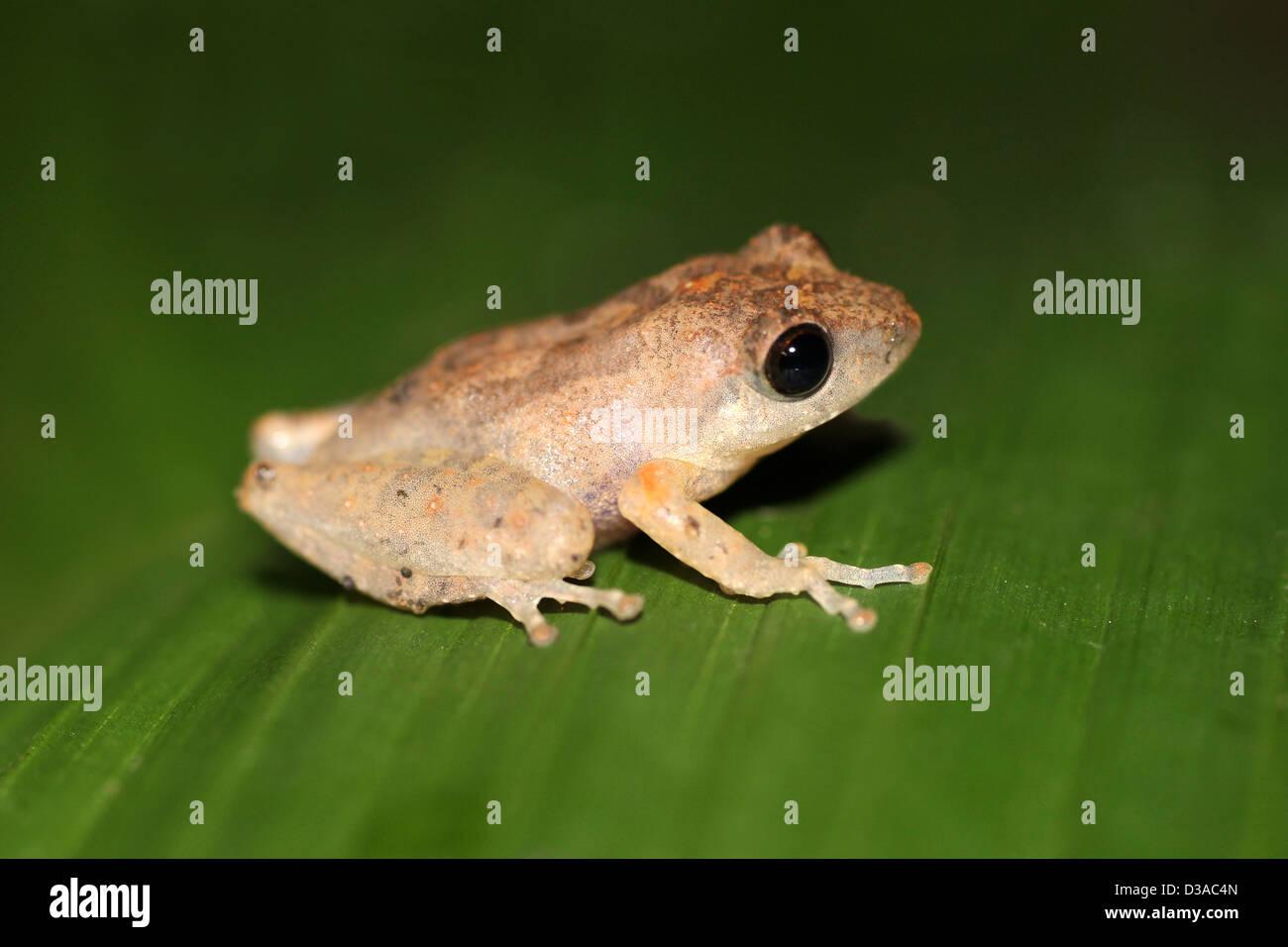 Peeling-Frosch - Philautus Rus Taken in der Nacht Stockbild