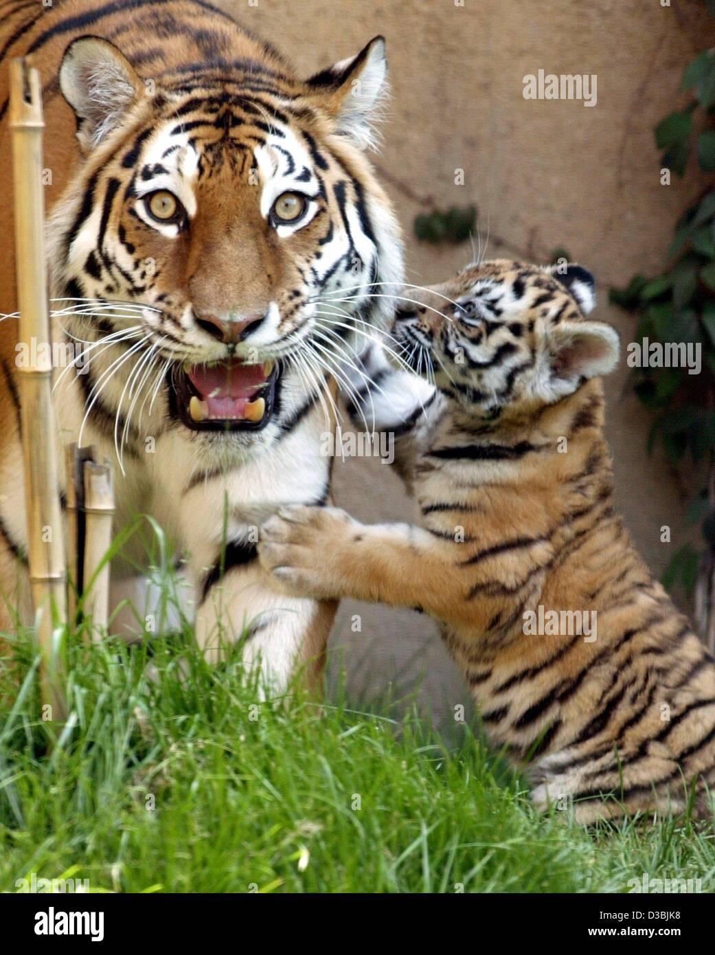 (Dpa) - das sibirische Tiger-Baby mit seiner Mutter im Zoo in Hannover, Deutschland, 27. Mai 2003 spielen will. Stockbild