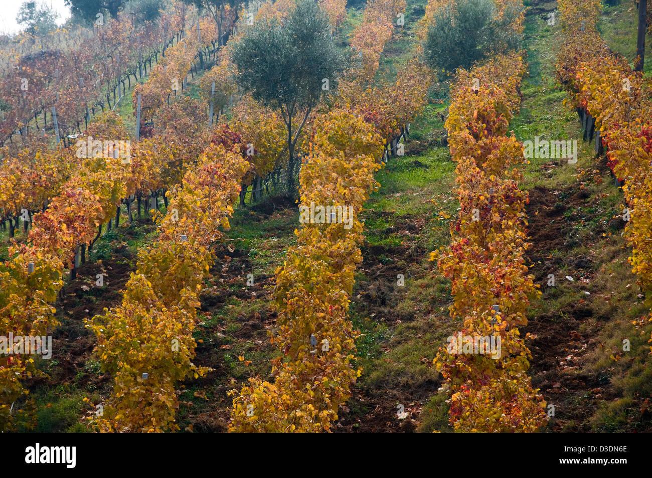 Herbstlichen Weinberg (Griechenland) Stockbild