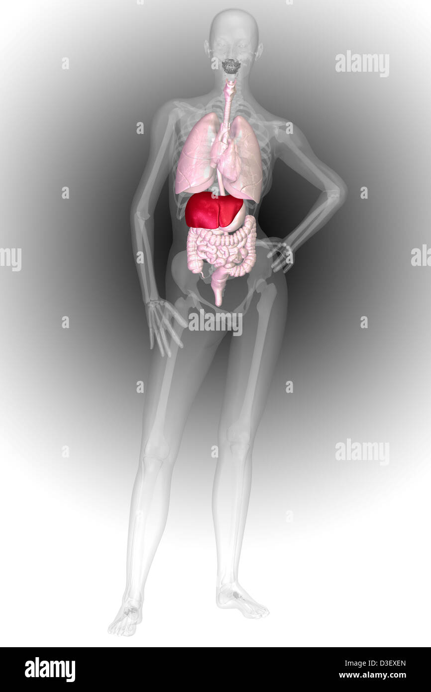Wunderbar Menschlichen Organsysteme Bilder Zeitgenössisch ...