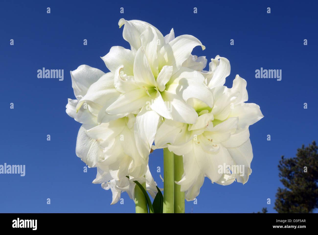 Amaryllis Weiss Stockfoto Bild 53808575 Alamy