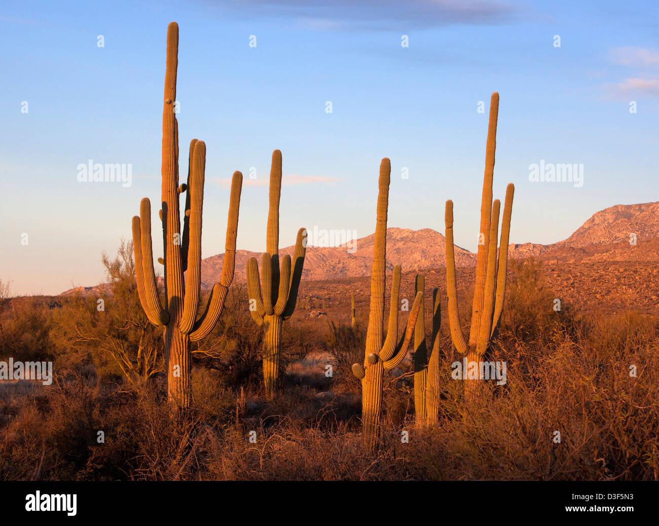 Stellung des Saguaro-Kaktus in Catalina State Park, Arizona, USA Stockfoto