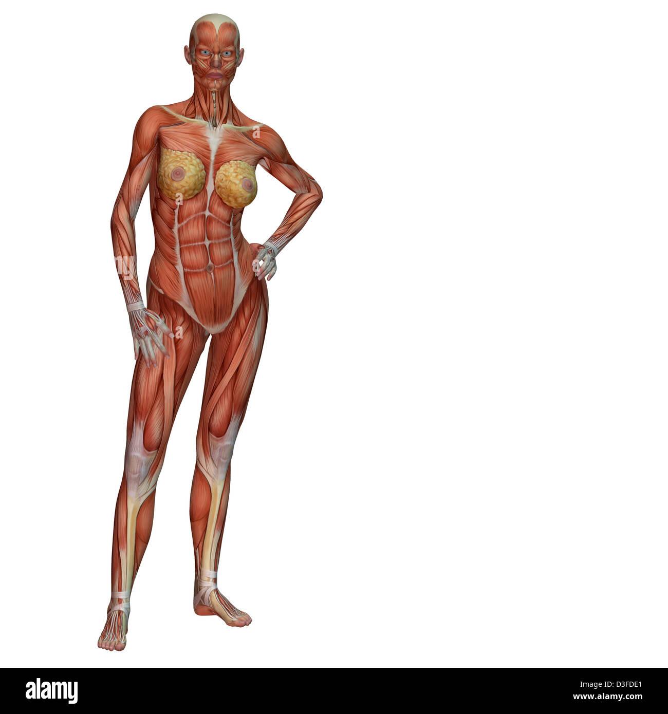 Ungewöhnlich Armmuskeln Anatomie Ideen - Anatomie Von Menschlichen ...