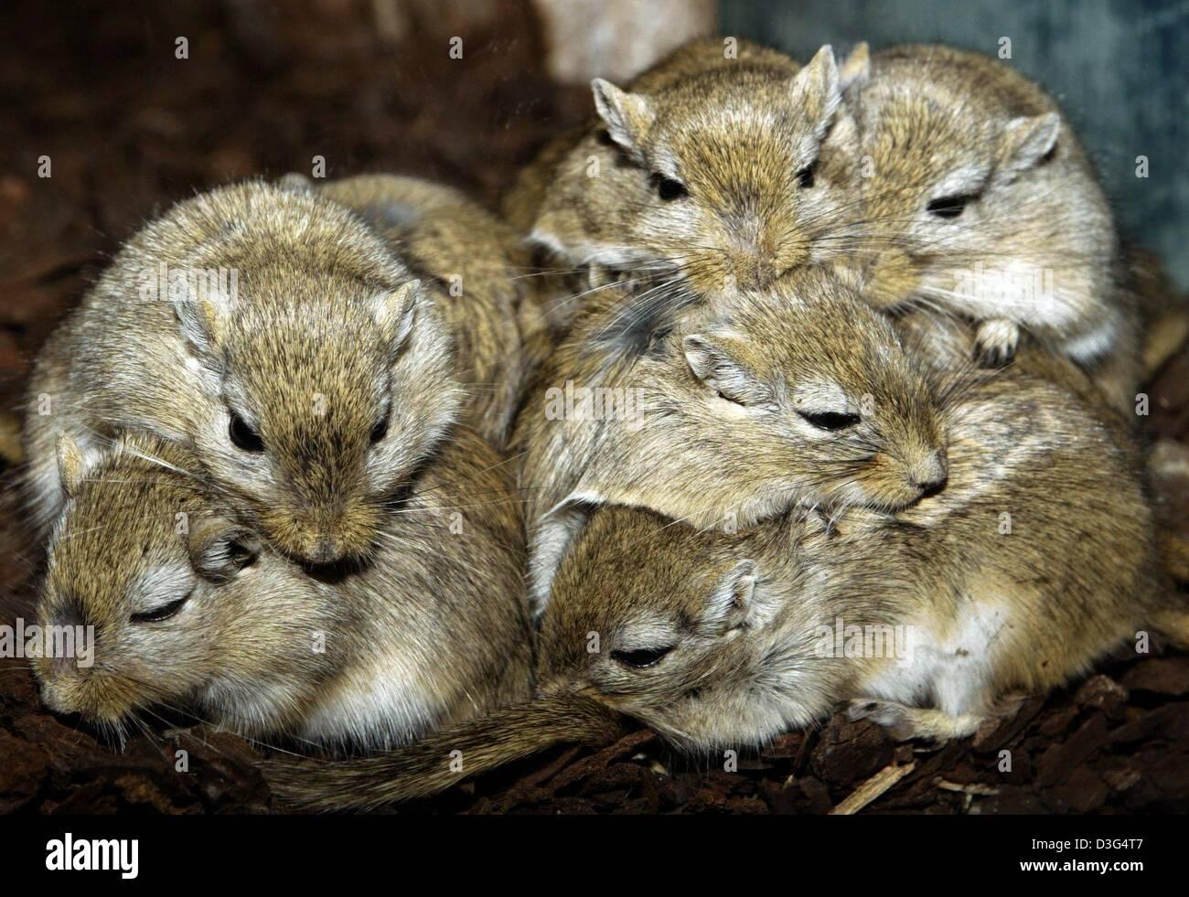 (Dpa) - eine Gruppe von mongolischen Rennmäusen (Meriones Unguiculatus) kuscheln Sie sich in einem Terrarium Stockbild