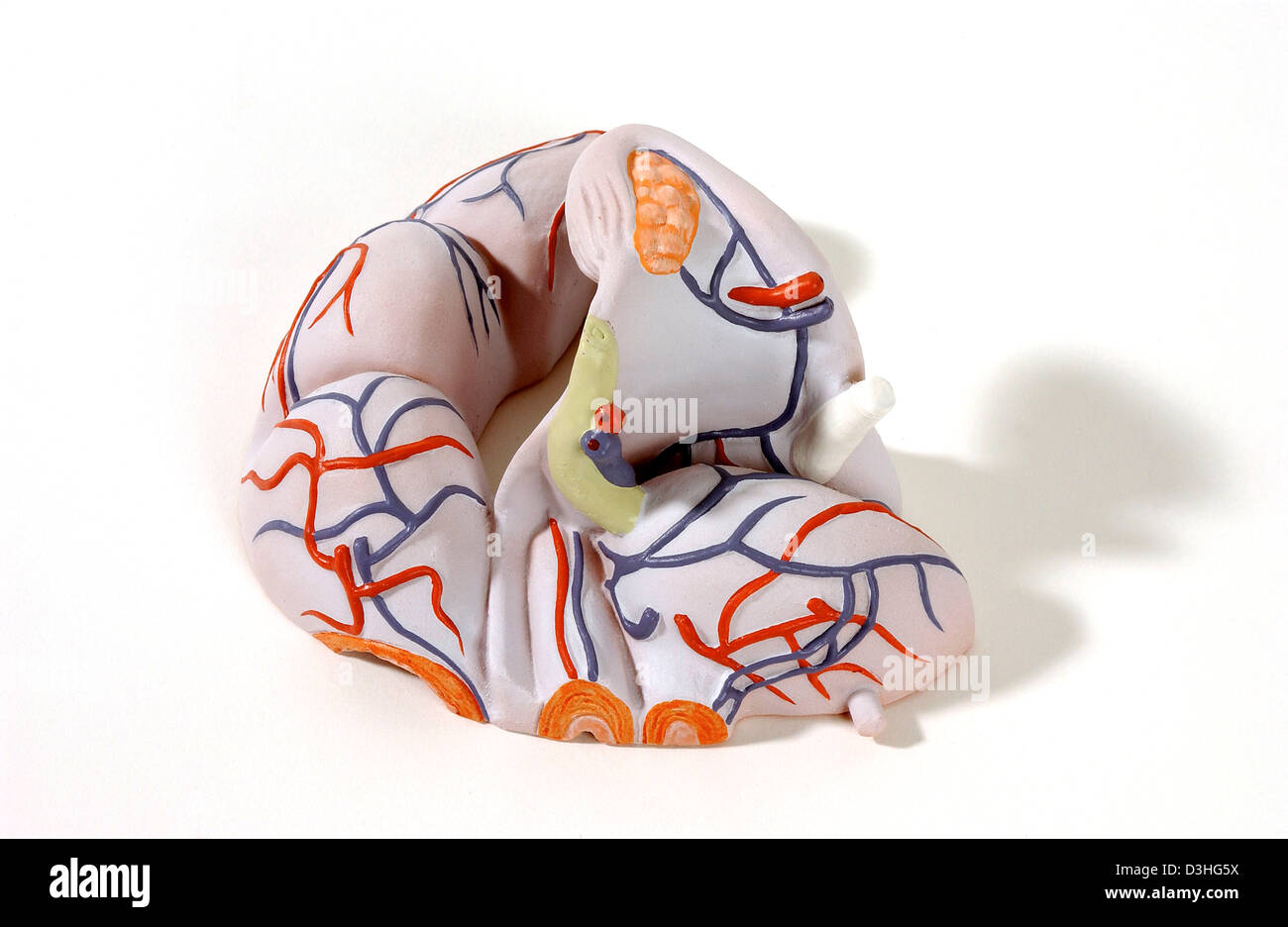 Uterus And Bowel Stockfotos & Uterus And Bowel Bilder - Alamy