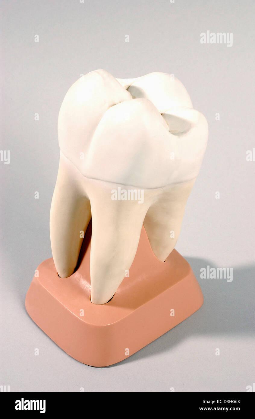 Wunderbar Anatomie Der Zähne Und Des Zahnfleischs Zeitgenössisch ...