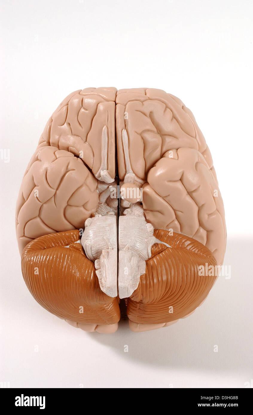 Ungewöhnlich Anatomie Des Gehirns Funktionen Fotos - Anatomie Von ...