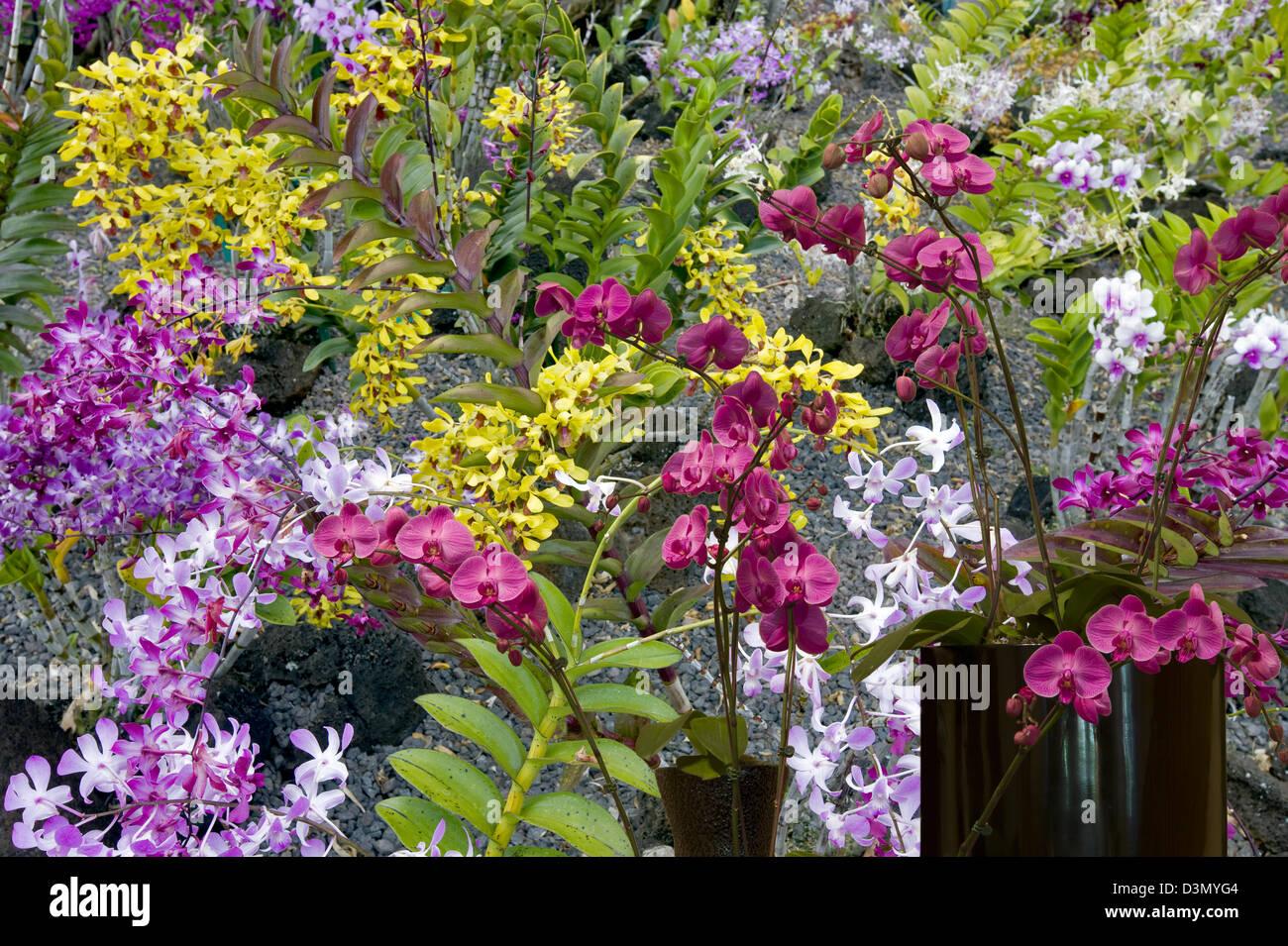 Orchideen bei Moir Gardens. Klahuna Plantation Resort. Kauai, Hawaii Stockbild