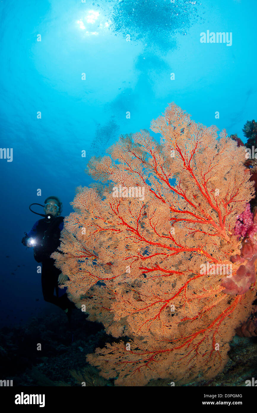 Taucher (MR) und Gorgonien Korallen-Fan, Tubbataha Reef, Philippinen. Stockbild