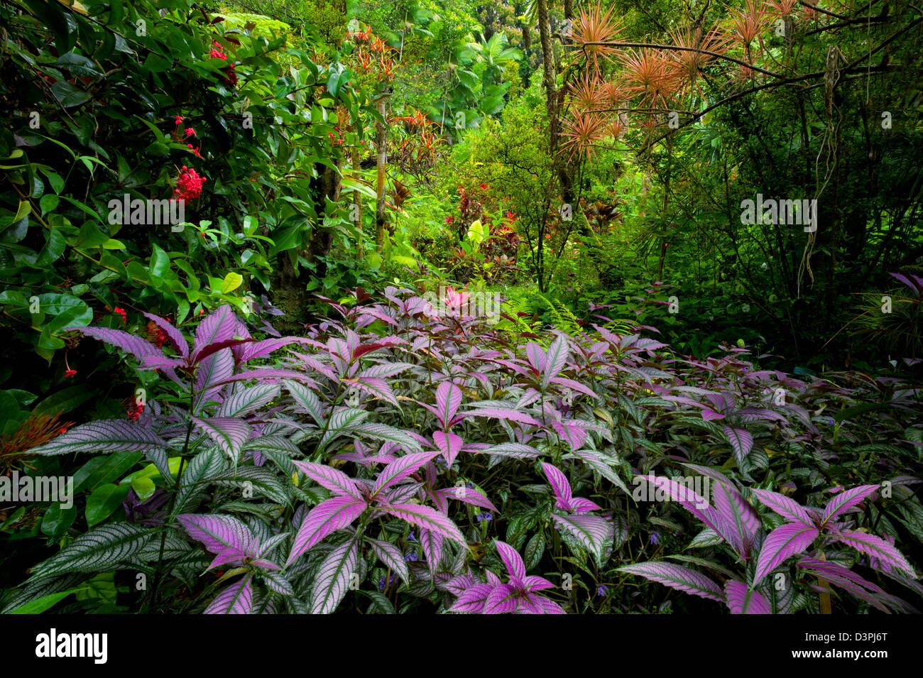 Lila persische Schild Pflanze im Vordergrund und Regenwald. Hawaii Tropical Botanical Gardens. Hawaii, Big Island. Stockbild