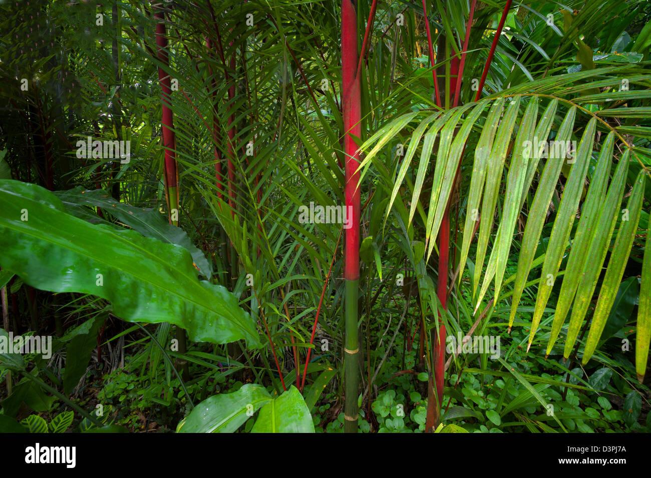 Rote Stämme der Abdichtung Wachs Palm. Hawaii Tropical Botanical Gardens. Hawaii, Big Island. Stockbild