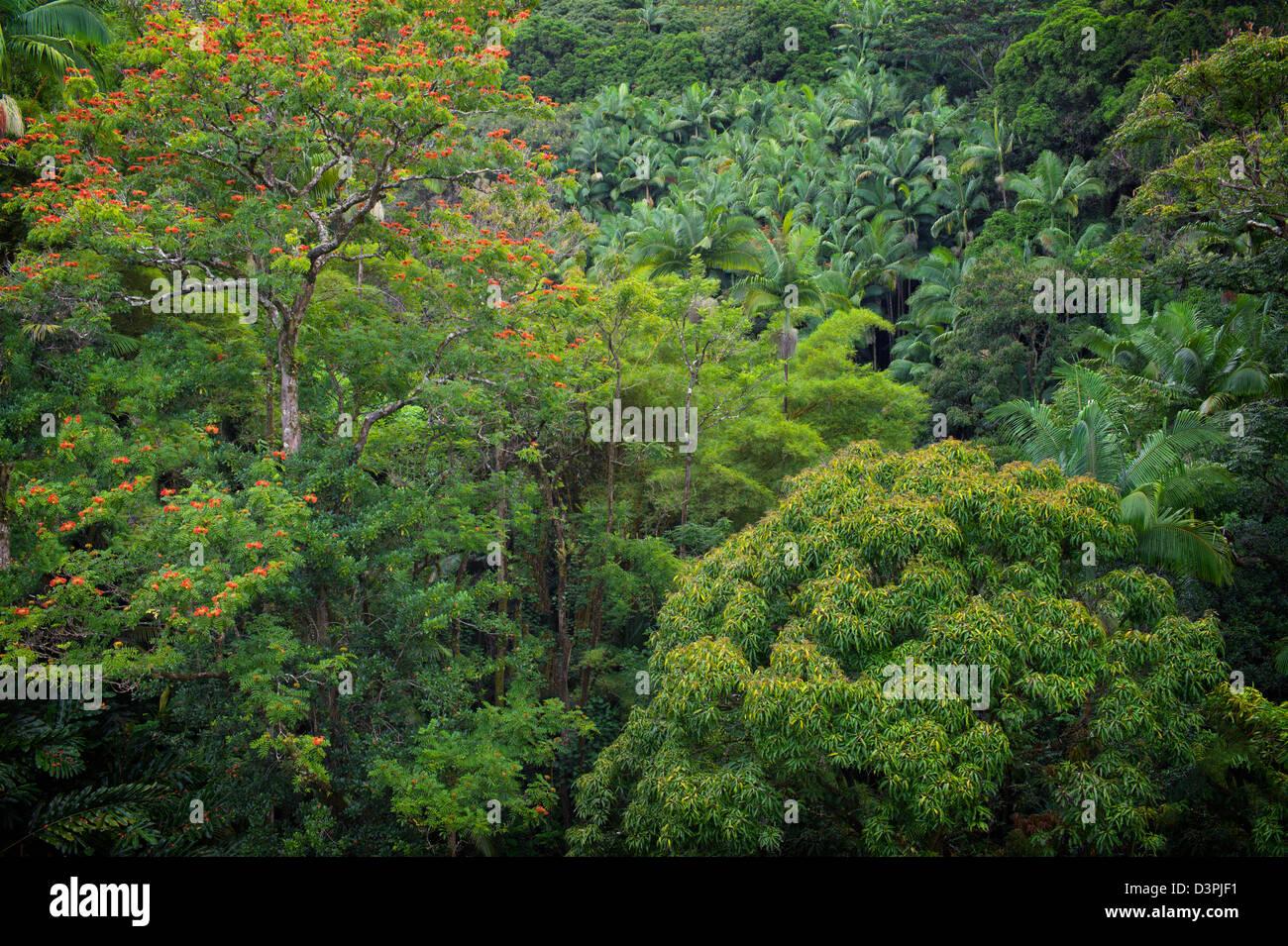 Regenwald mit afrikanischen Tulpenbaum in voller Blüte. Hanaunau Küste. Hawaii, Big Island. Stockbild