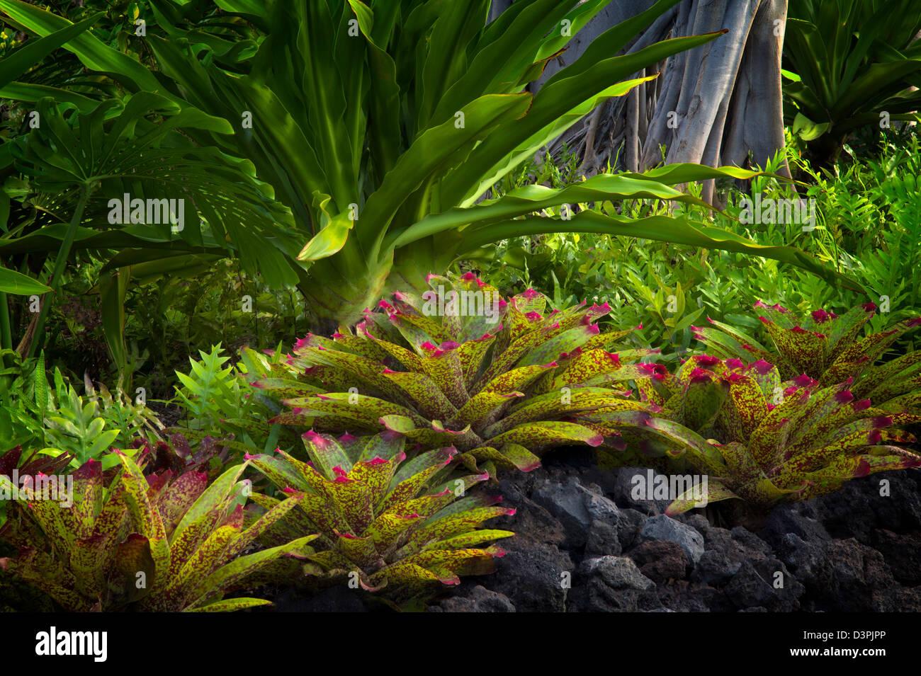 Bromelien im Garten. Hawaii, Big Island. Stockbild