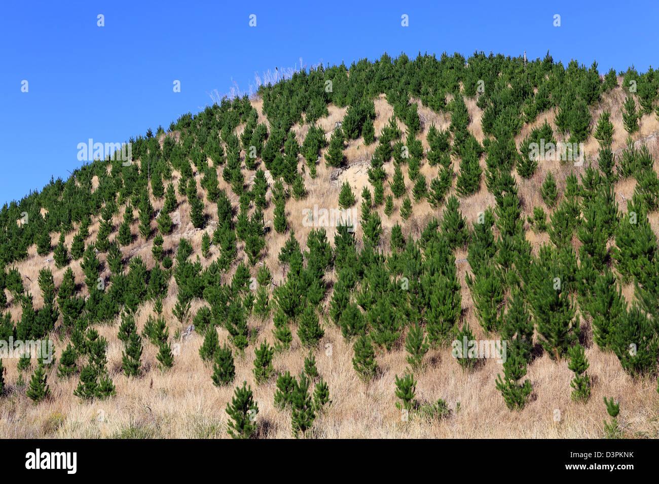 Junge Kiefern wachsen in Forstwirtschaft block Stockbild