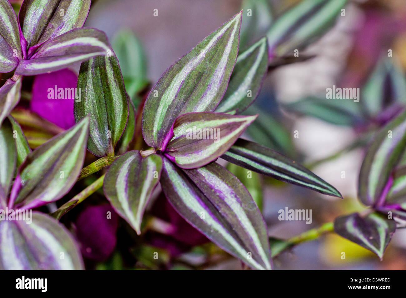 Pflanze Lila Blätter : ewige jude pflanze tradescantia zebrina gr n lila und silber bl tter stockfoto bild ~ Eleganceandgraceweddings.com Haus und Dekorationen