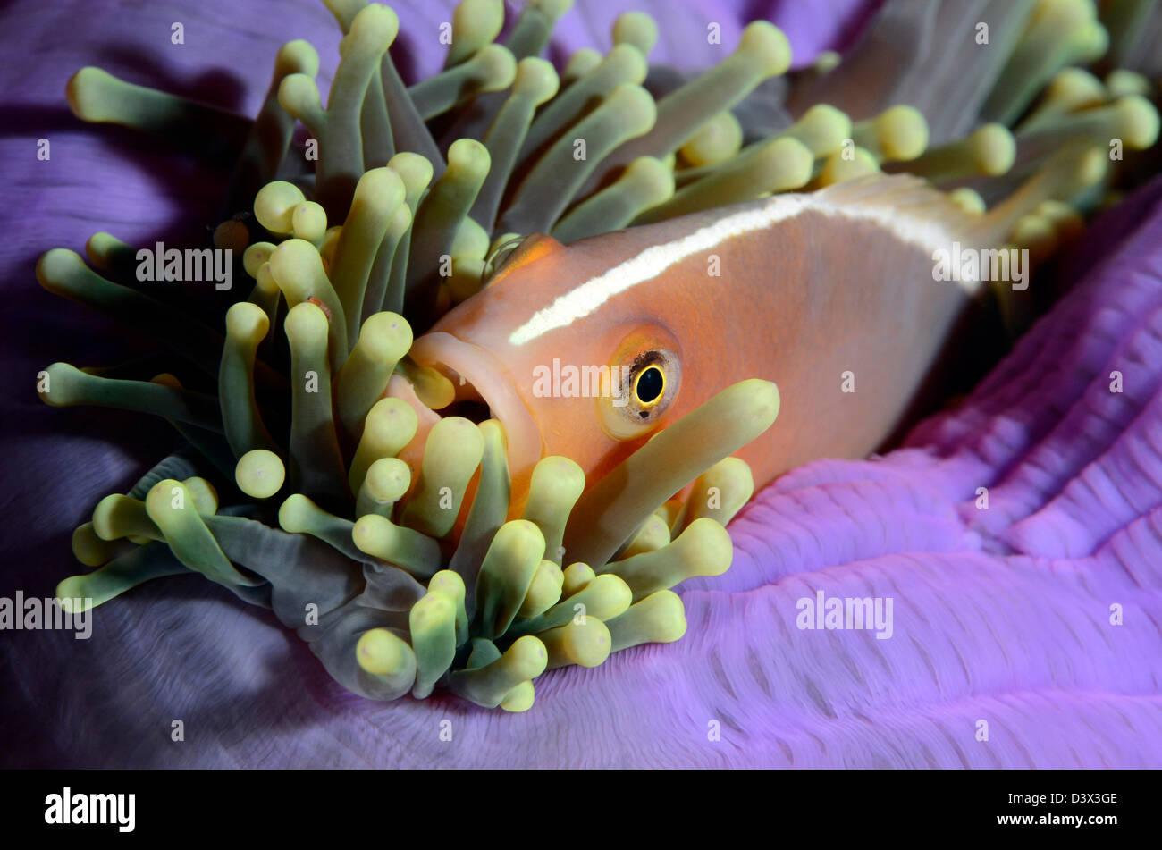 Stinktier Anemonenfischen Amphiprion Sandaracinos, Similan Inseln, Thailand Stockfoto