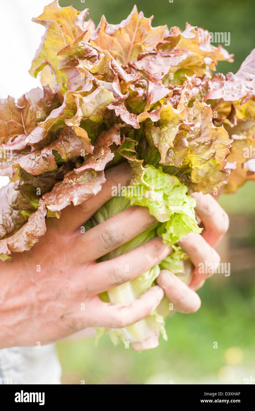 Mann mit erntefrischen Bio-Salat Stockbild