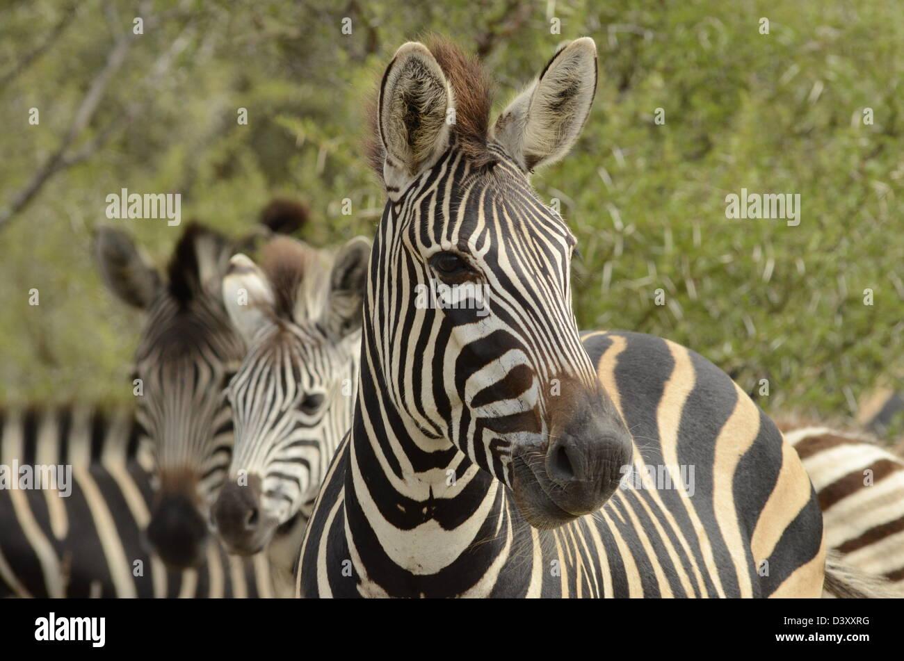 fotos von afrika plains zebra kopf seitlich nach stockfoto bild 54066868 alamy. Black Bedroom Furniture Sets. Home Design Ideas