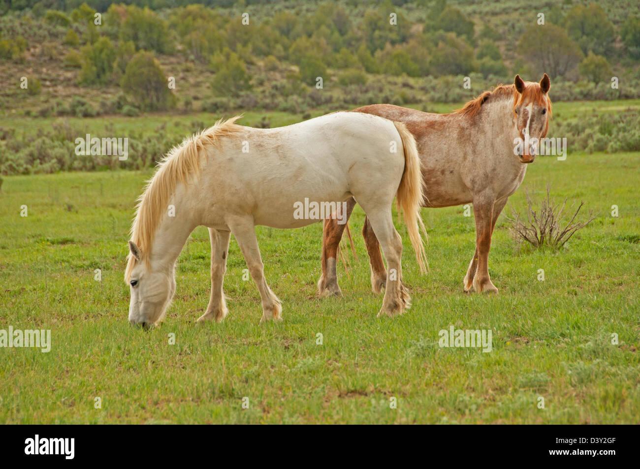 Wildpferde, New Mexico, Vereinigte Staaten, zwei Stuten Weiden ...