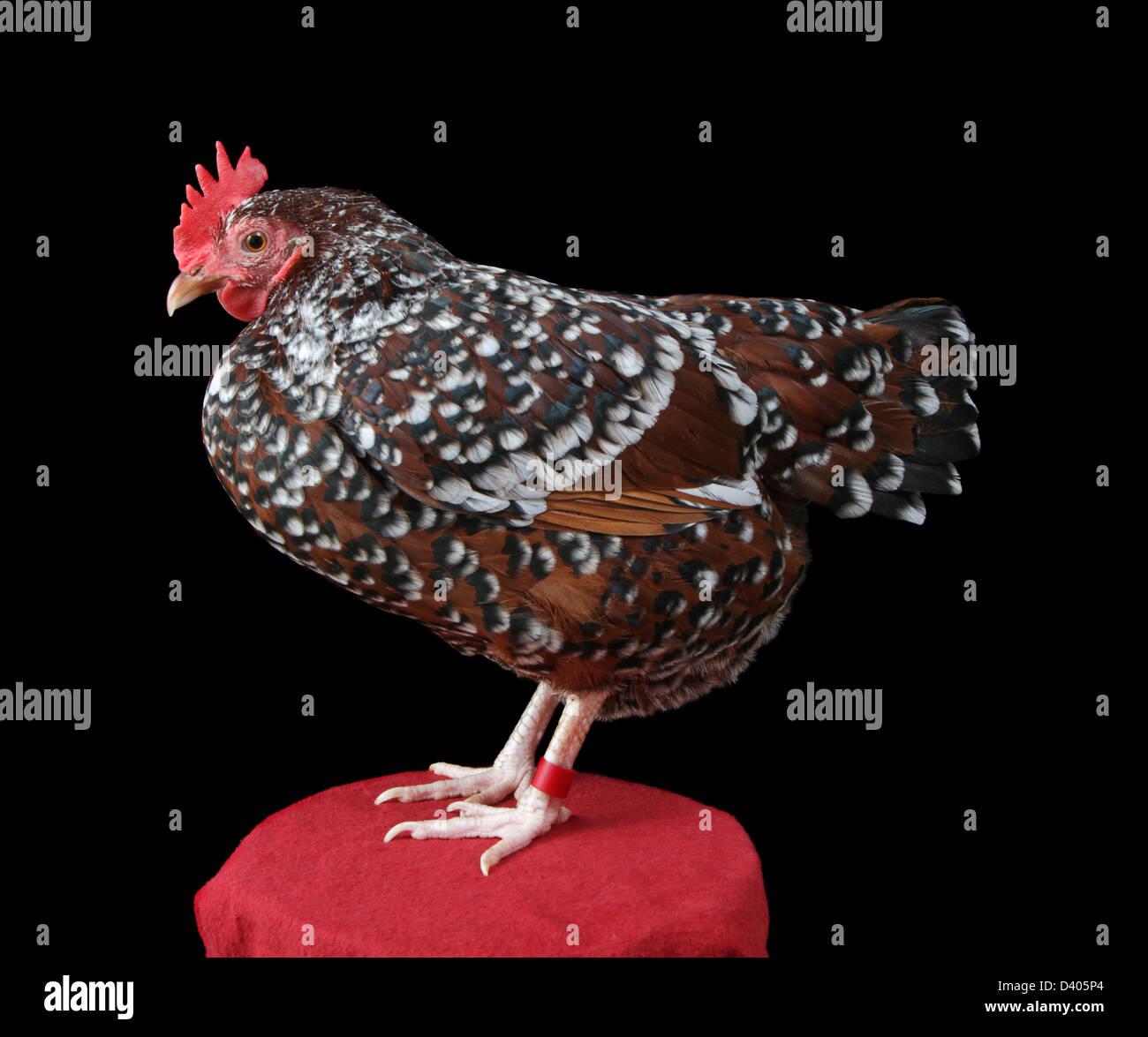 Porträt eines bantam gesprenkelten Sussex-Huhn (Henne). Stockbild
