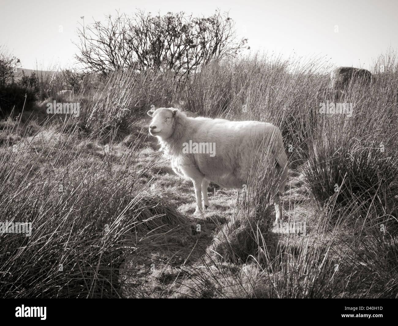 Monochromes Bild eines Schafes beleuchtet zurück stehen auf unebenem Gelände mit Gras- und Ginster Stockbild