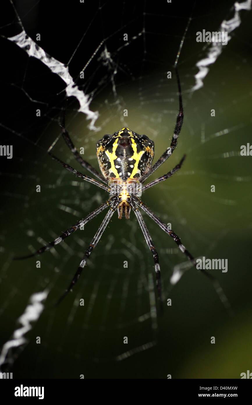 Signatur-Spider Argiope SP. fotografiert in der Nacht Stockbild