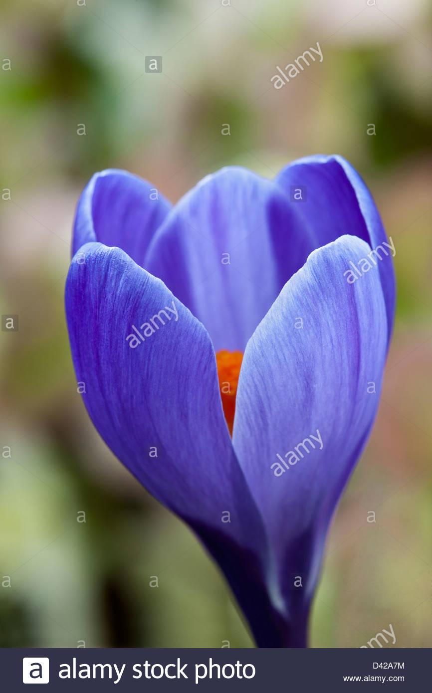 Niederländische Crocus Erinnerung Frühling Blume Birne blau lila Februar Gartenpflanze Stockbild