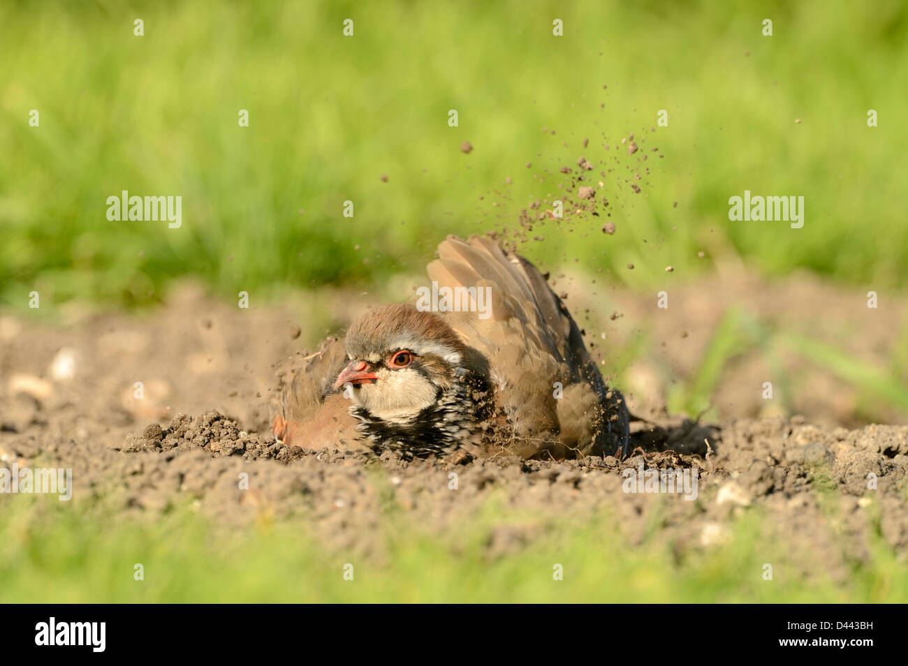 Rothuhn (Alectoris Rufa) saß am Boden, Staub baden, Oxfordshire, England, September Stockbild