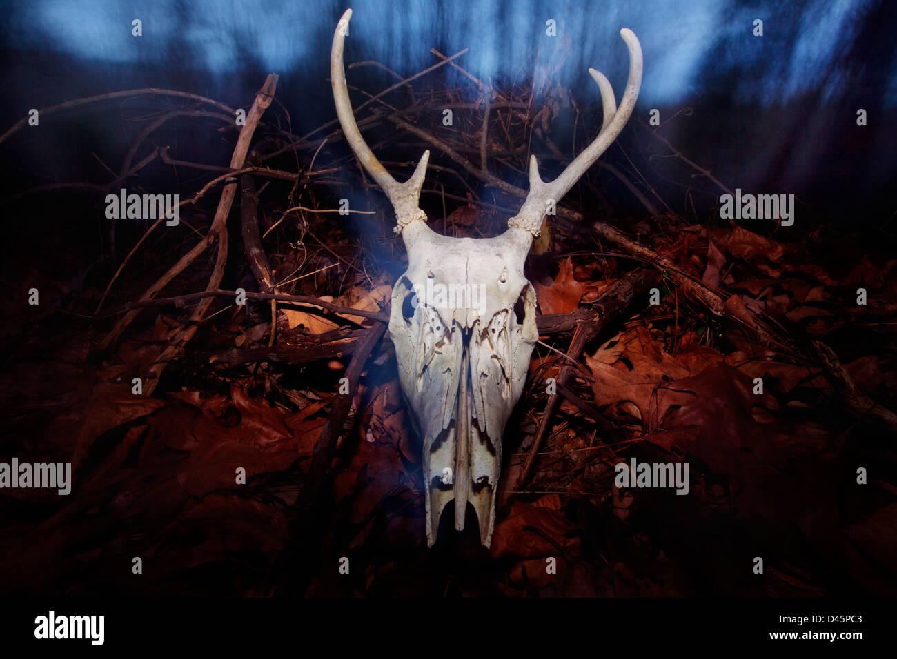 Ein Hirsch-Schädel in einem Wald in der Dämmerung. Stockbild