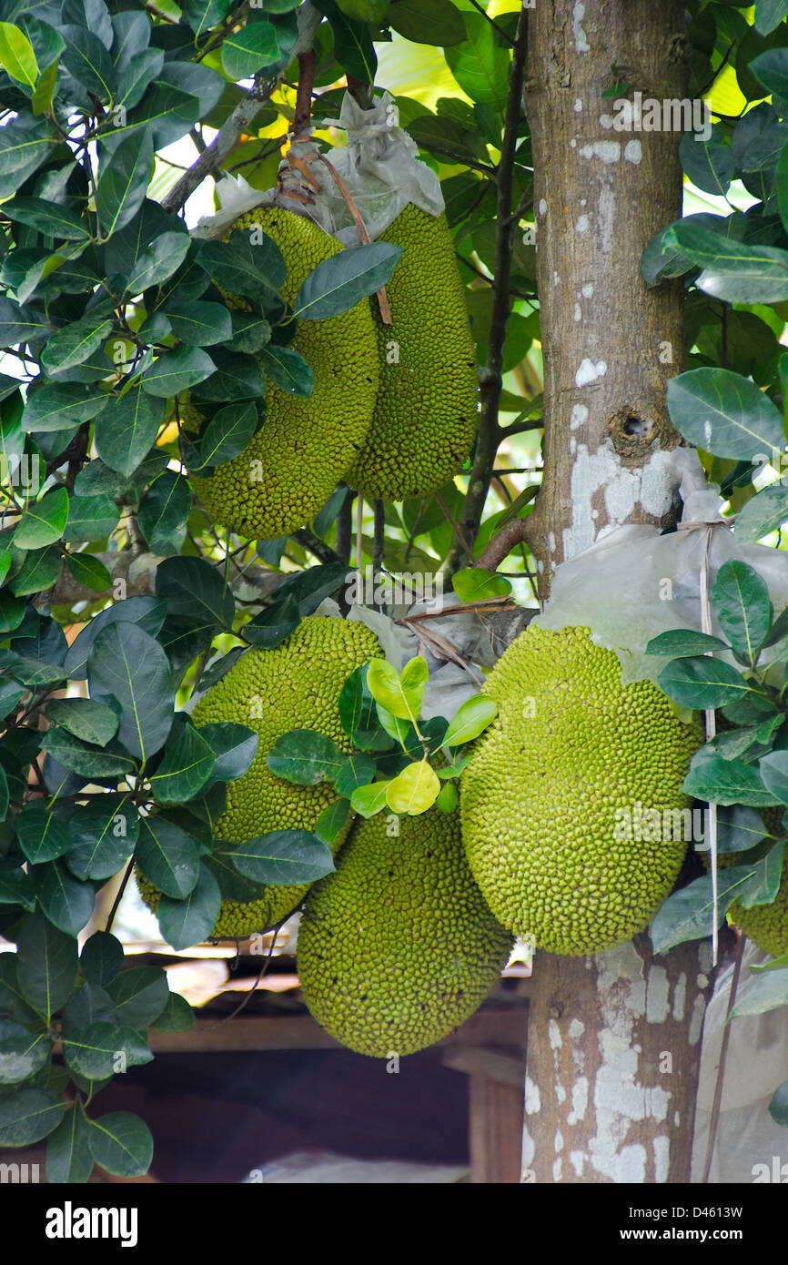 Brotfrucht Asien (Artocarpus Altilis) Stockbild