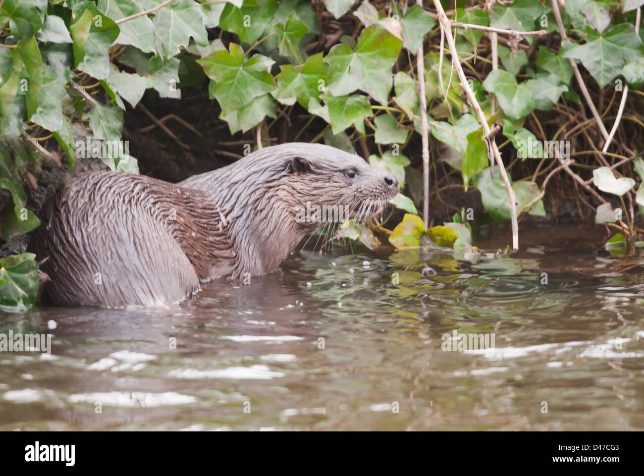 Wilde europäischer Fischotter Lutra Lutra am Ufer des Flusses in Norfolk Stockfoto