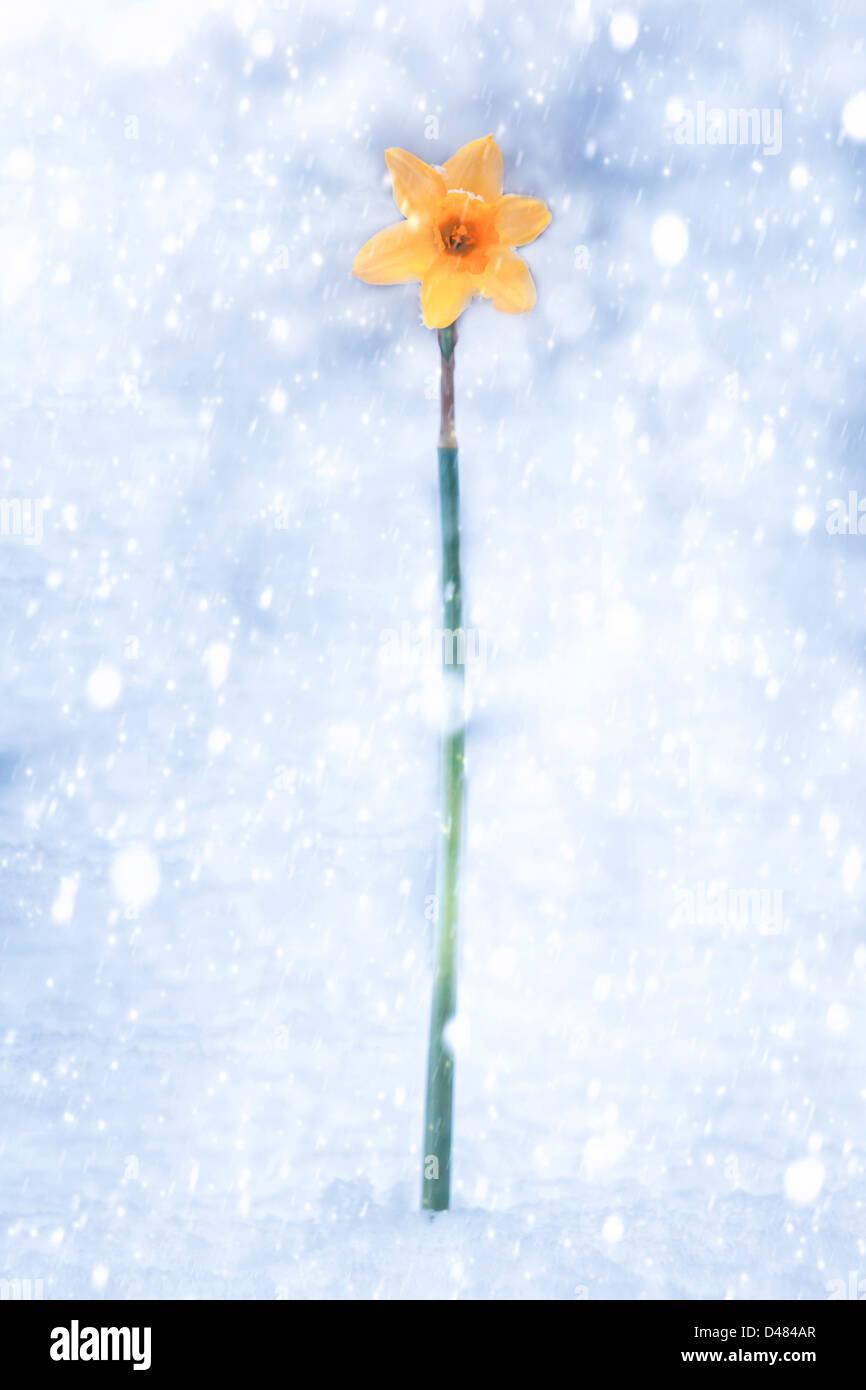 Narzisse im Schneesturm Stockbild