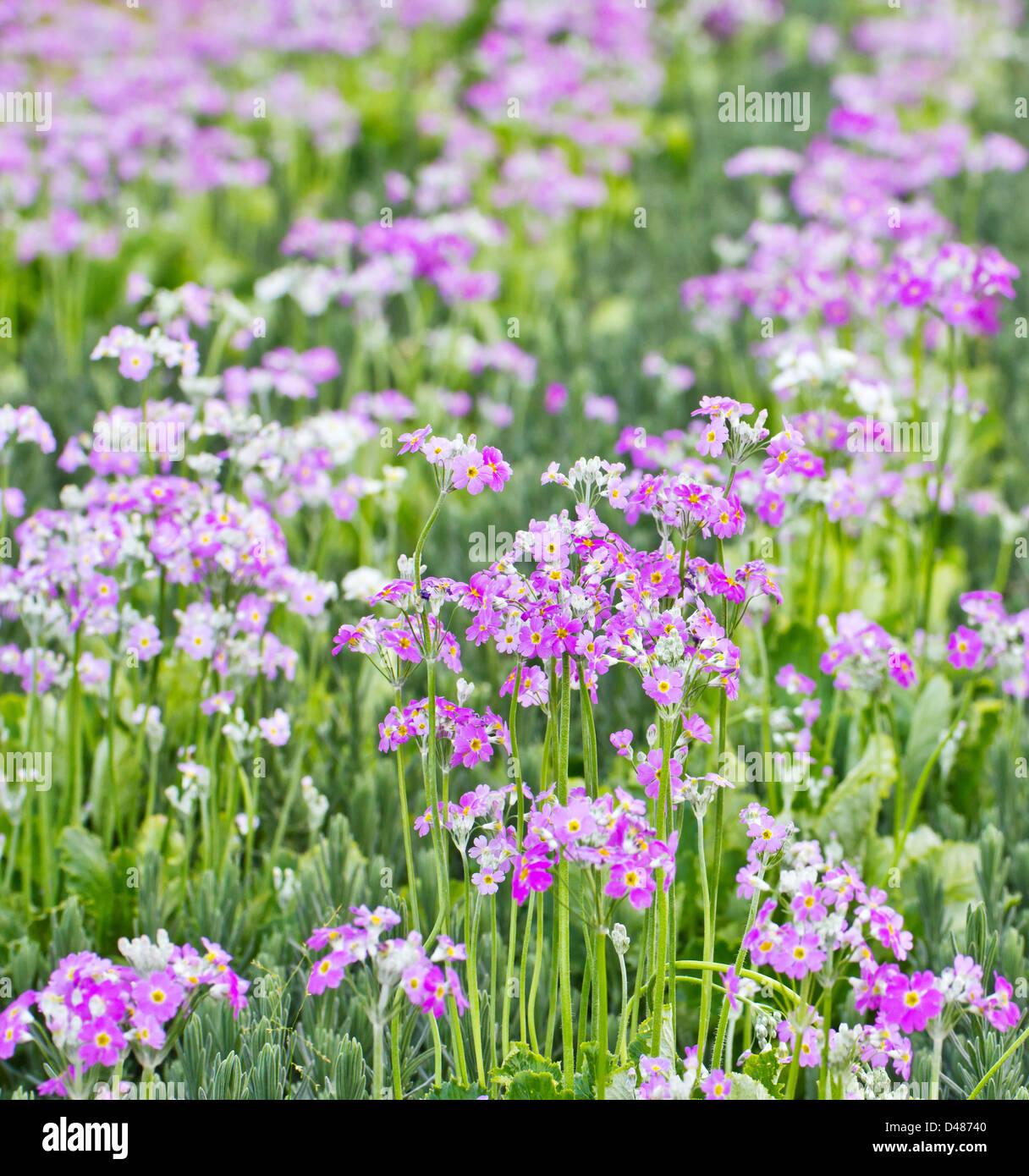 Französischer Lavendel Stockbild