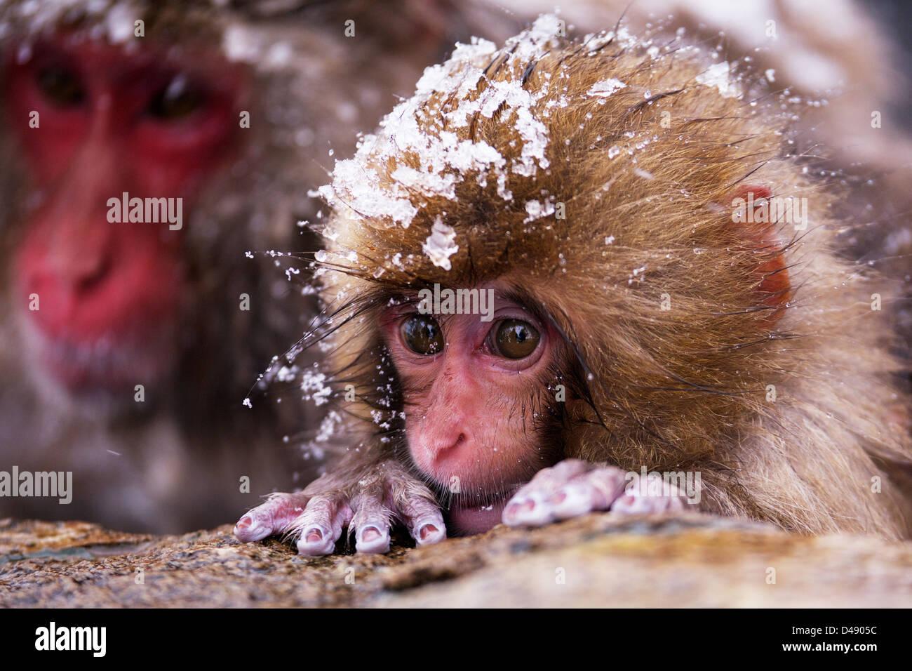 Baby Snow Monkey Stockbild