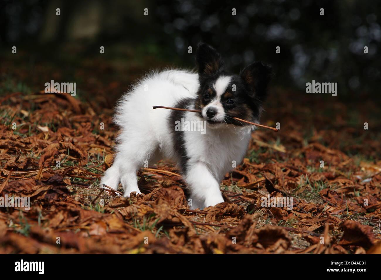 Papillon Hund / Continental Toy Spaniel Schmetterling Hund Welpen zu Fuss mit einem Stock im Maul Stockfoto