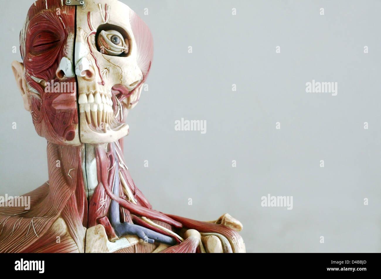 Niedlich Anatomische Modelle Bilder - Menschliche Anatomie Bilder ...