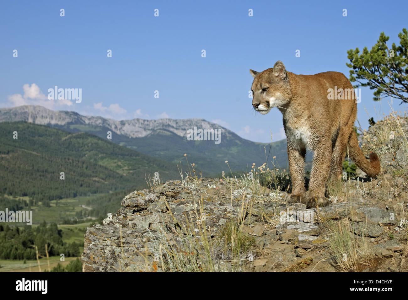 Puma (lat.: Felis Concolor) auch bekannt als Puma oder