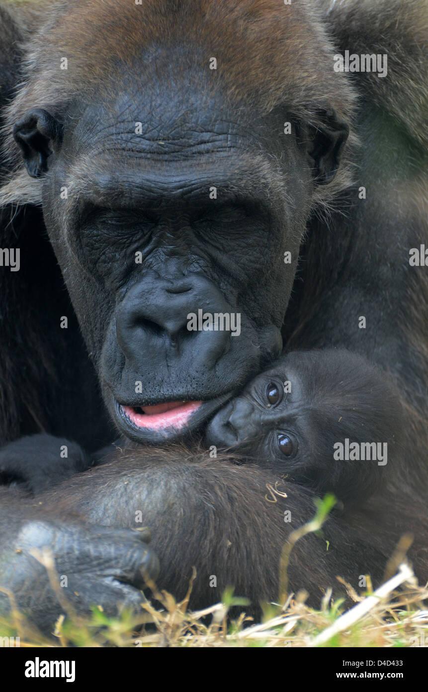 Weibliche Flachlandgorilla umarmt baby Stockfoto