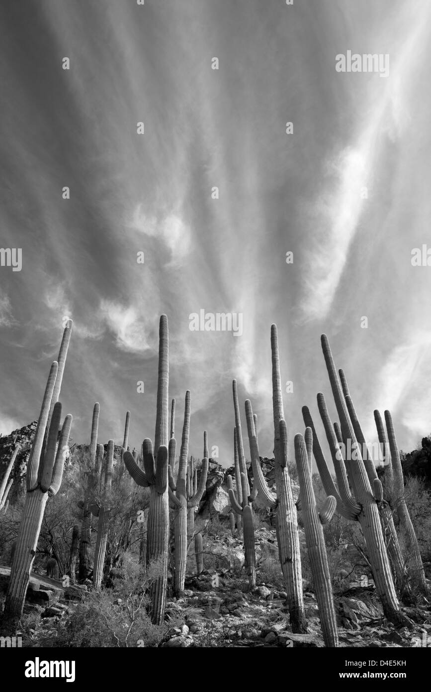 Saguaro Kakteen und Wolken, Sabino Canyon, Tucson, Arizona, USA Stockfoto