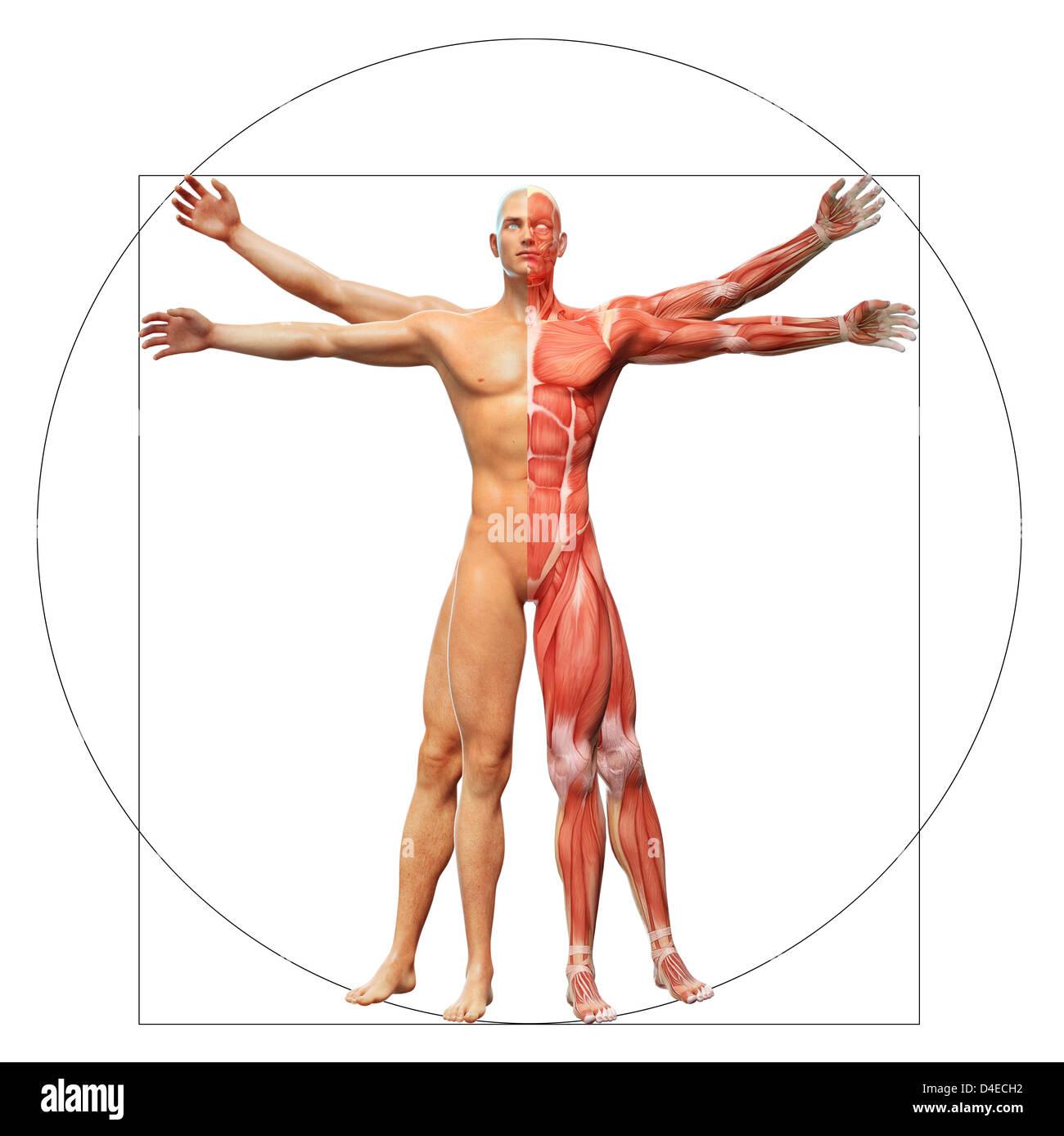 Menschliche Anatomie angezeigt als der vitruvianische Mensch von ...