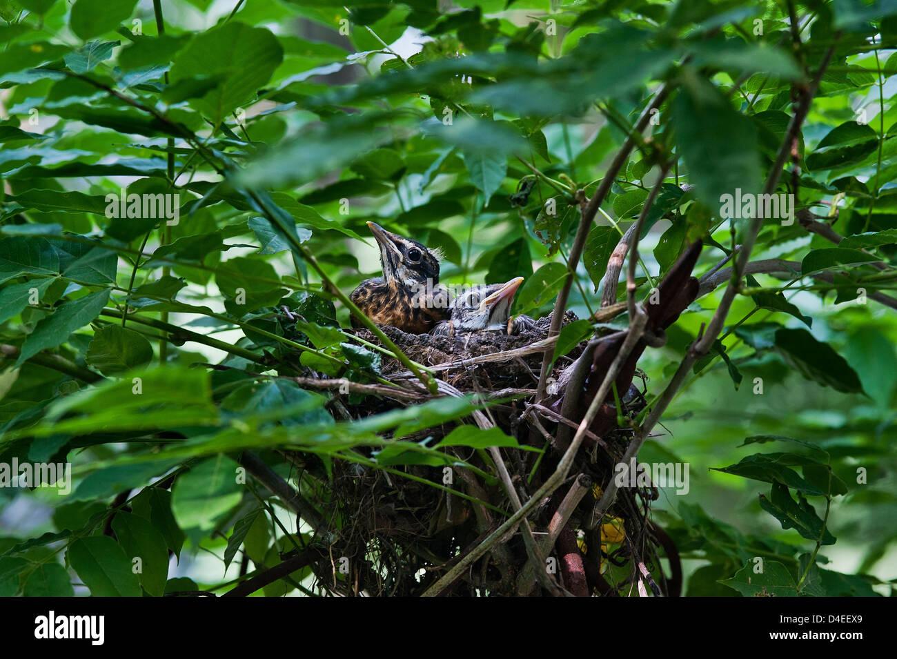 Robin Küken im Nest. Stockbild